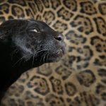 デボラ・シモンズ『黒い豹』を読んだ感想