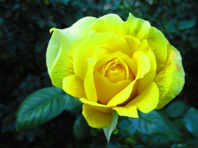 ダイアナ・パーマー『伯爵と一輪の花』を読んだ感想